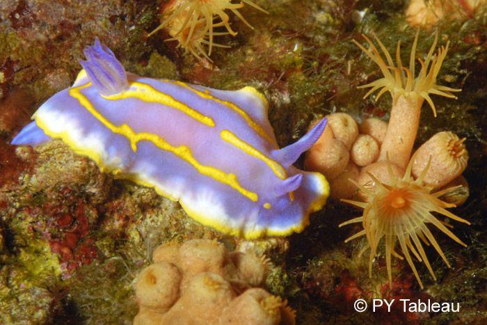 Chromodoris krohnii
